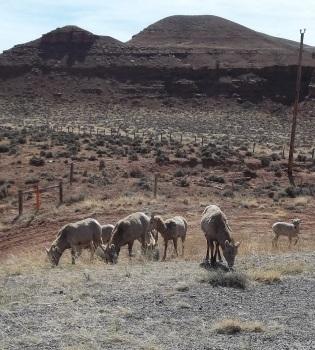 Sheep060816_5
