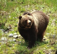 Grizzly_Bear_sow_and_cub_in_Shoshone_National_Forest_edited