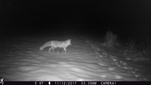fox night Dubois WY