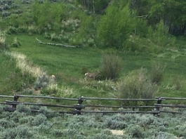 Deer_grazing