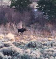 Moose_0518