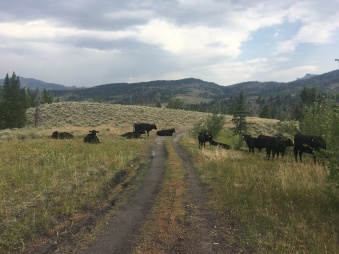 Cattle_BearBasin